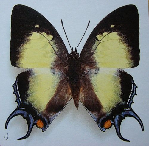Parnassius apollo) - дневная бабочка семейства парусники (papilionidae)