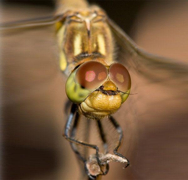 попки сонник муха в глаз рот