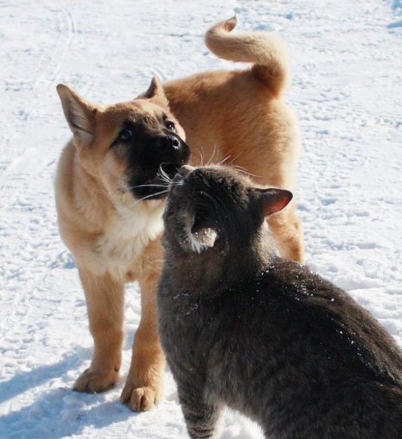 знакомство кота со щенком